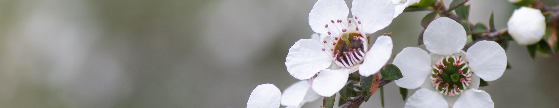 Manuka or tea tree flowers